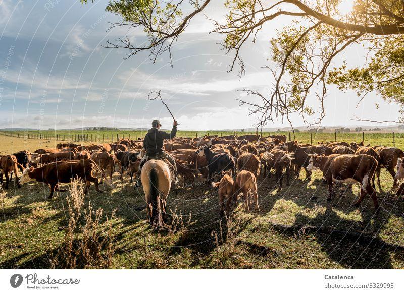 Der Reiter treibt Kühe und Kälter, die sich nur behäbig fortbewegen Landschaft Natur Flora Fauna Tier Nutztier Kuhherde Rinderherde Farm Person Gaucho Pferd