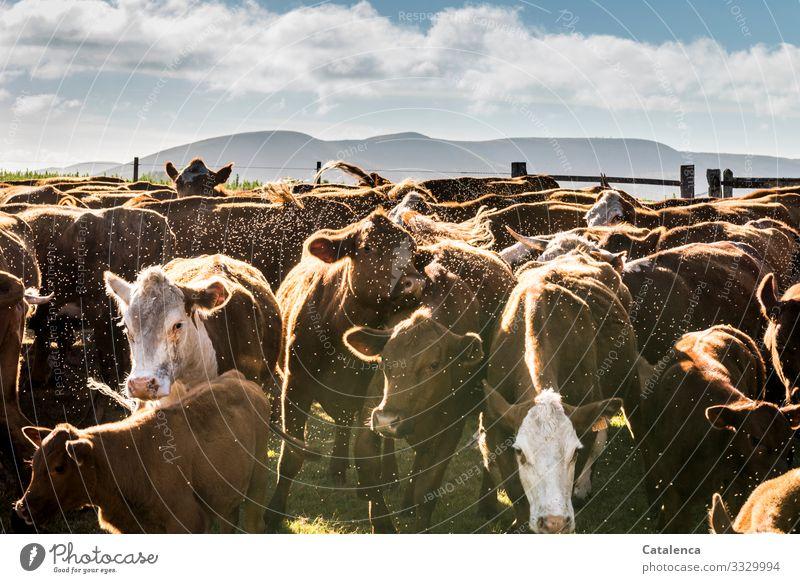 Rinder |  ihre Rolle im Klimawandel Menschenleer Pflanze Natur Insekt Fliegen Gras Sommer Wiese Weide Nutztier Tier Herde authentisch blau braun grün nachhaltig
