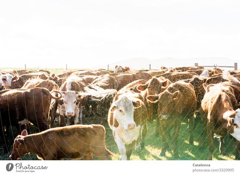 Bäh | Fliegenumhüllte Rinderherde steht zusammengepfercht im Gatter Rinderhaltung Kühe schauend Grasland Tierporträt Starke Tiefenschärfe Außenaufnahme