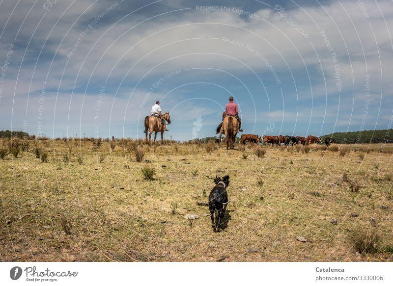 Die beiden Reiter treiben die Rinderherde aus der abgeweideten  Weide, der müde Hund trottet hinterher. Gauchos Kuh Pferde Nutztier Tier Gras Wiese Sommer