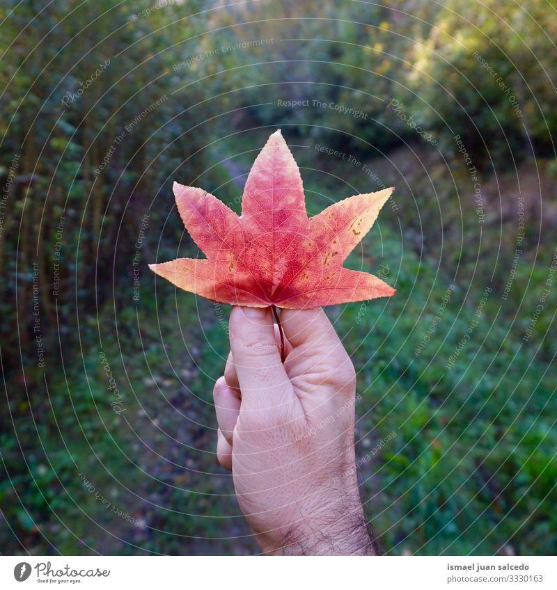 Männerhand mit einem schönen baumroten Blatt Hand Finger Körperteil Beteiligung Gefühl berührend Natur Frische im Freien Zerbrechlichkeit Hintergrund texturiert