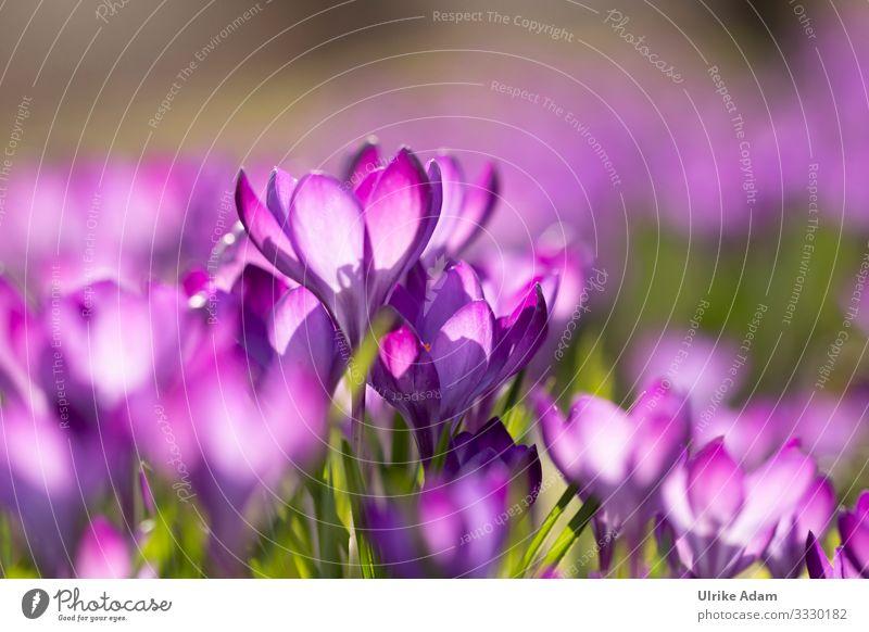 Krokusse ( Crocus ) elegant Wellness Leben harmonisch Erholung ruhig Meditation Spa Tapete Osterkarte Feste & Feiern Valentinstag Muttertag Ostern Natur Pflanze