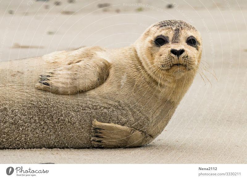 Seehund baby | hier riecht's doch nach ... Fisch? Tier Tierporträt Robben Robbenbaby Baby Jungtier jung Nordsee Strand Raubtier Kälte kühl gekühlt süß entspannt