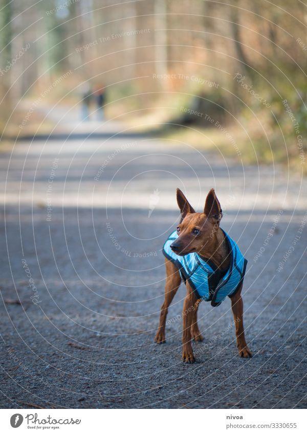 Rehpinscher Pinscher Hund niedlich laufen Spaziergang Tier Haustier Außenaufnahme Farbfoto 1 Tierporträt Gassi gehen Natur Tag Freundschaft Hundeleine