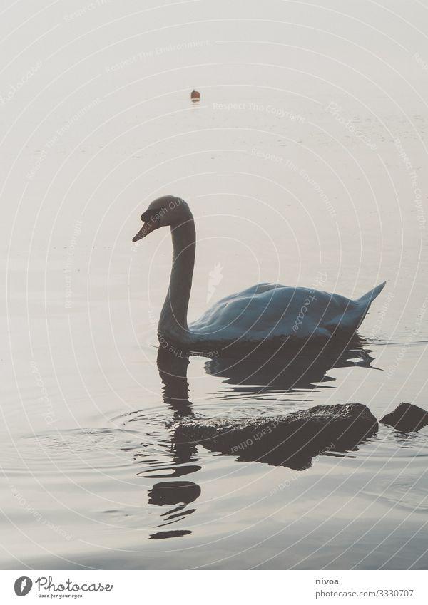 Schwanensee Ausflug Freiheit Gemälde Umwelt Natur Landschaft Wasser Winter Klima Schönes Wetter Küste See Zürich See Vogel Flügel 1 Tier Stein Fährte Bewegung