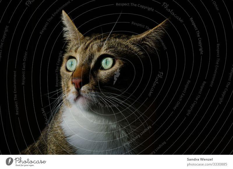 Floki 5 Tier Haustier Katze 1 Gesundheit schön klug Hauskatze Katzenauge Gesichtsausdruck Farbfoto Menschenleer Hintergrund neutral Low Key Tierporträt Wegsehen