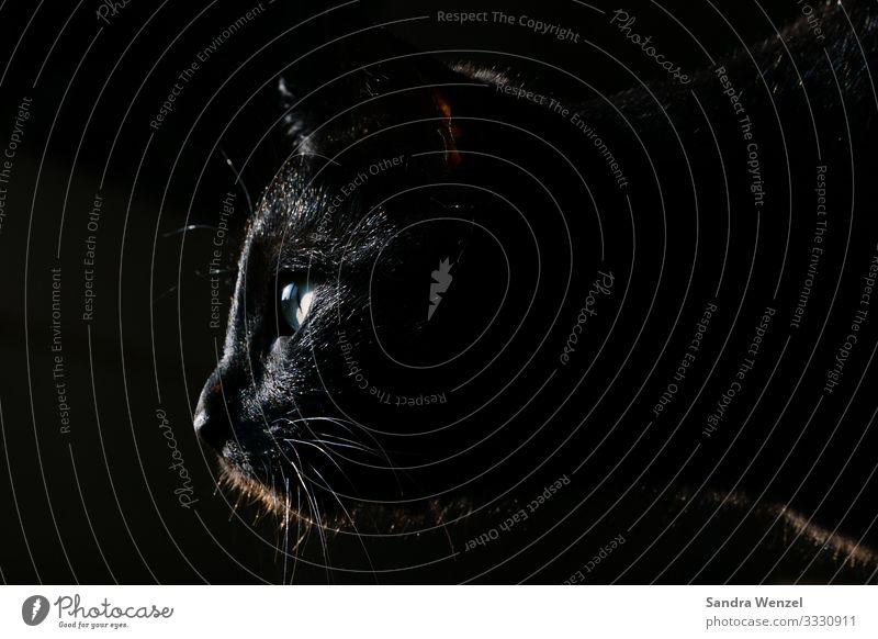 Sirius Black Tier Haustier Katze Hauskatze 1 beobachten schwarz Gedeckte Farben Menschenleer Hintergrund neutral Low Key Blick nach vorn