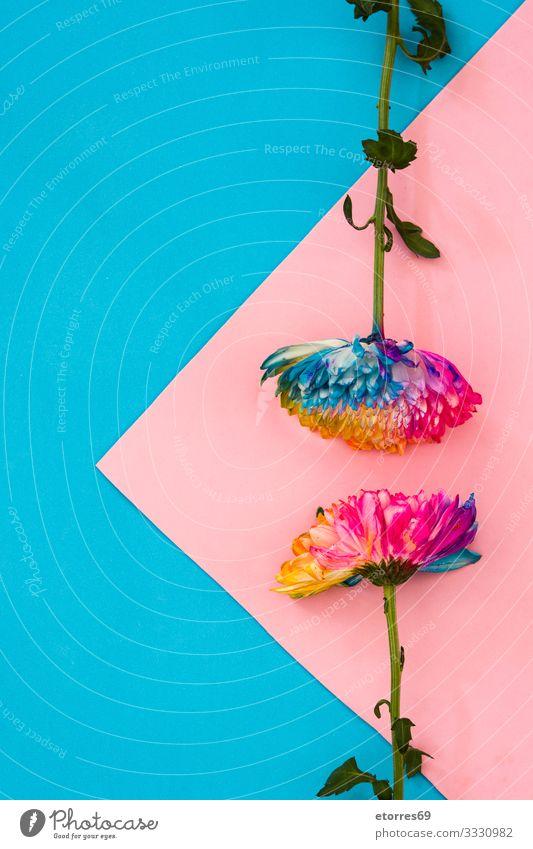 Bunte Chrysanthemenblüte auf rosa und blauem Hintergrund. Farbe mehrfarbig rot gelb Blume Blumenstrauß Blüte geblümt Frühling Natur Pflanze vereinzelt