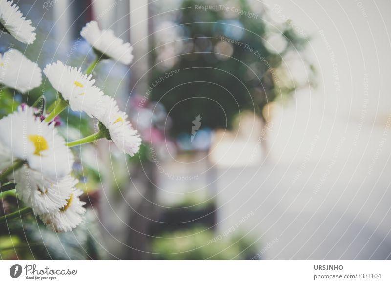 Gänseblümchen auf der Fensterbank Ferien & Urlaub & Reisen Sommer Häusliches Leben Pflanze Blume Blüte Grünpflanze Balkonpflanze Dorf Altstadt Menschenleer