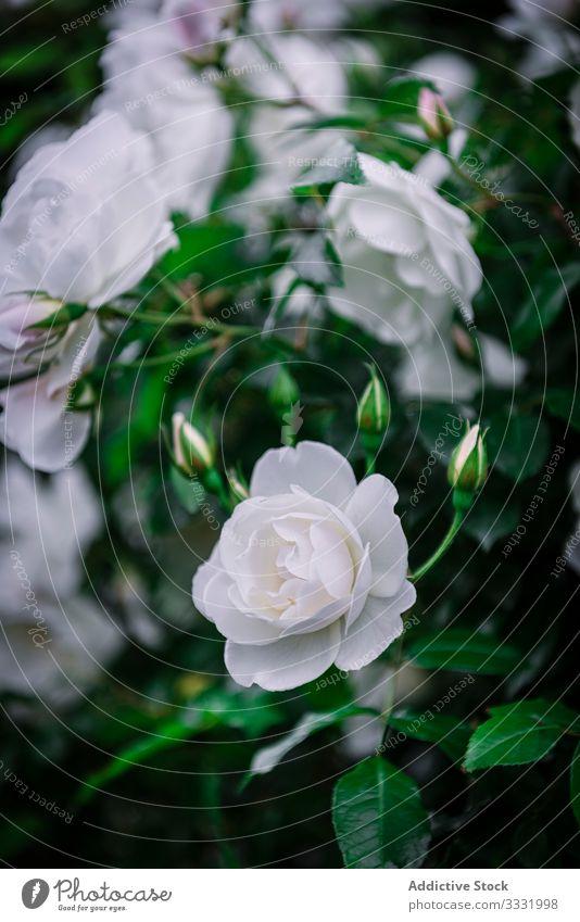 Nahaufnahme von weichen weißen Rosen schön Blumen Roséwein Natur Schere Liebe Schönheit Farbe Blütenblatt Romantik Valentinsgruß Blütezeit Pflanze geblümt grün