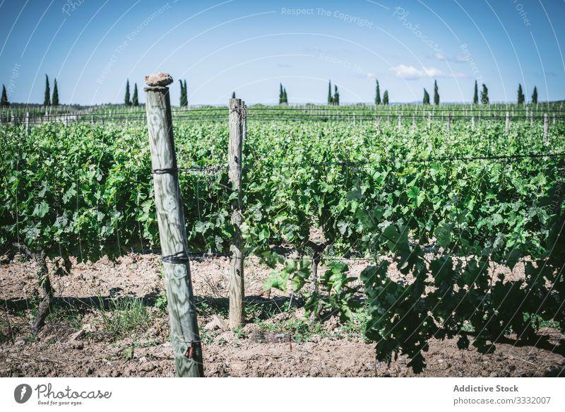 Grüne Reben auf dem Bauernhof Pflanze Wein Wachstum grün Landschaft sonnig tagsüber Reihe Ackerbau Natur ländlich organisch filigran Schonung Agronomie lassen