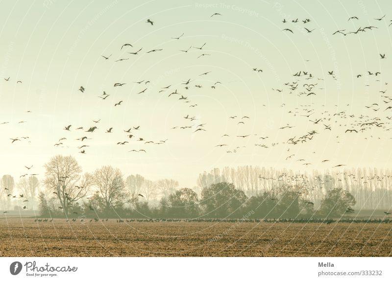 Abgehoben Umwelt Natur Landschaft Tier Baum Wäldchen Feld Wildtier Vogel Kranich Schwarm fliegen stehen frei Zusammensein natürlich viele Bewegung Freiheit
