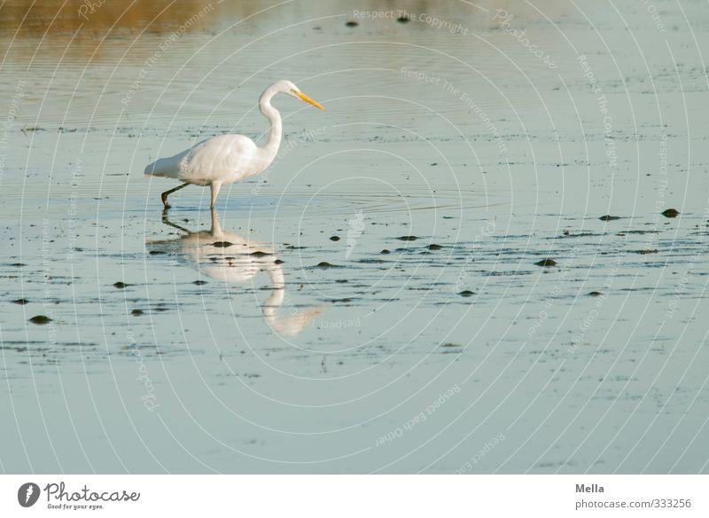 Fishing for fishes Umwelt Natur Landschaft Tier Wasser Teich See Wildtier Vogel Reiher Silberreiher 1 gehen natürlich blau weiß ruhig schreiten Suche Farbfoto