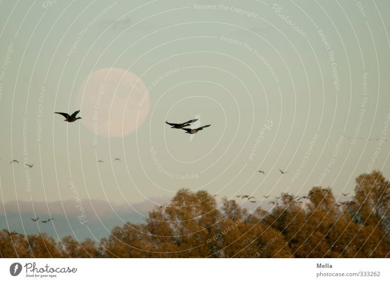 Noch 'n Vogel-Mond-Foto Umwelt Natur Tier Luft Himmel Vollmond Pflanze Baum Baumkrone Wildtier Gans Wildgans 3 Tiergruppe Schwarm fliegen frei Zusammensein