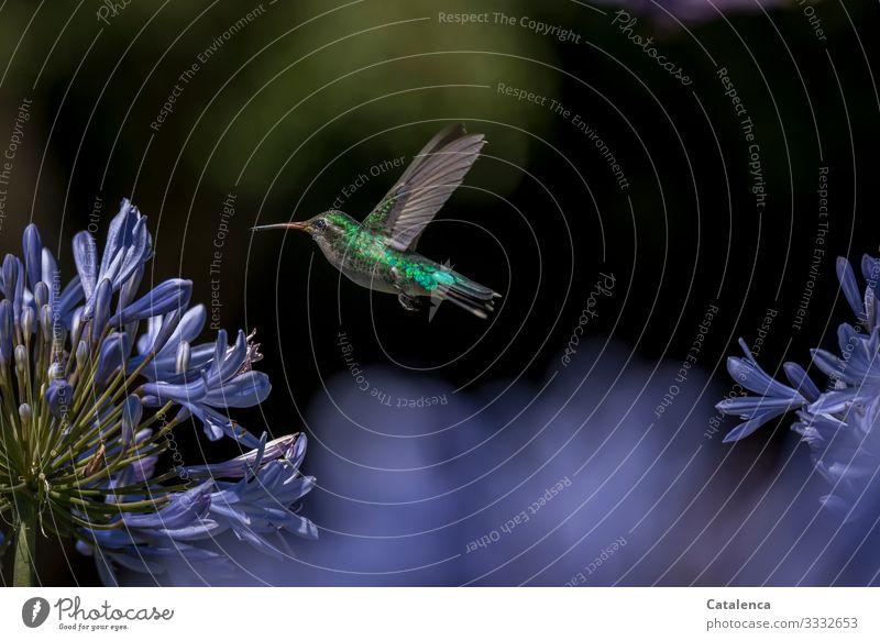 Haute Couture | ein schillerndes Federkleid Natur Fauna Flora Wildtier Vogel Kolibri Tierporträt Flügel Pflanze Blüte Agapanthus lila grün fliegend klein