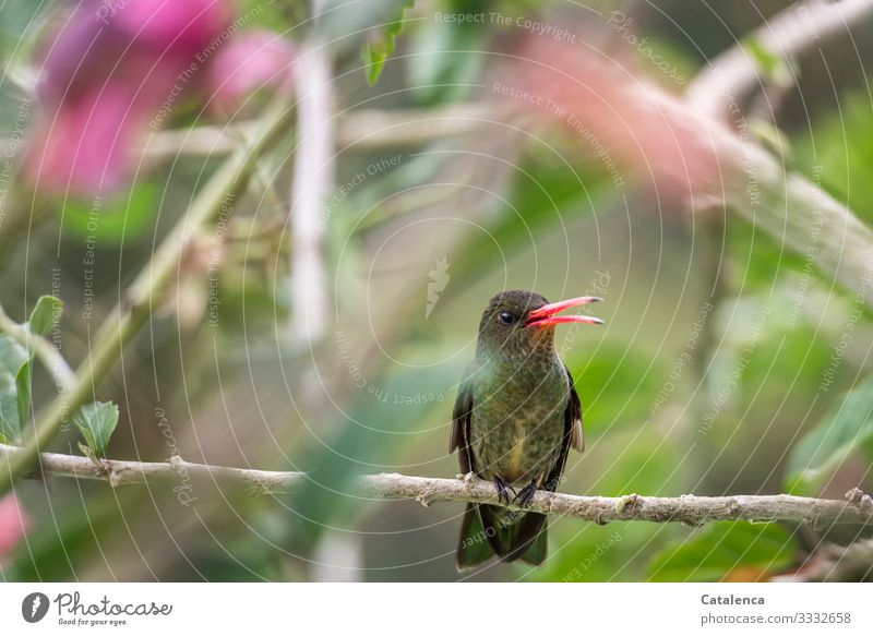 Ein Kolibri sitzt  auf einen Hibiskusast und verteidigt laut zwitschernd sein Revier Natur Flora Fauna Pflanze Tier Vogel Busch Ast Blüte Blat sitzen Tag