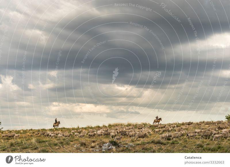 Reiter am Horizont treiben Schafe an einem bewölktem Tag Wolken Himmel Nutztier Weide Pferde Landschaft Pflanze Gras reiten Hozizont Schafherde Landwirtschaft