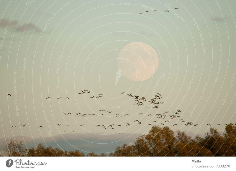 Bloß nicht den Mond kreuzen! Himmel Natur Baum Landschaft Tier Umwelt Freiheit natürlich Luft Vogel Zusammensein fliegen Wildtier frei Baumkrone