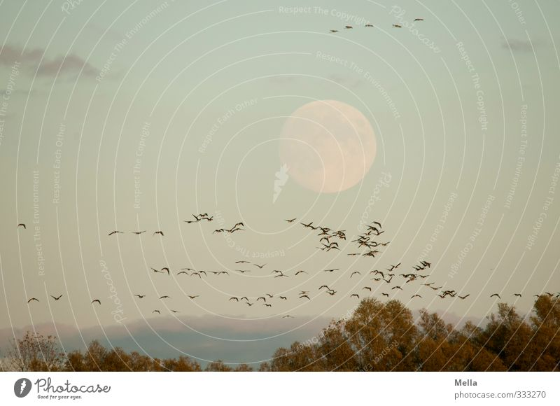 Bloß nicht den Mond kreuzen! Umwelt Natur Landschaft Tier Luft Himmel Vollmond Baum Baumkrone Wildtier Vogel Gans Wildgans Kranich Schwarm fliegen frei