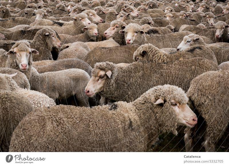 Schafherde Natur Tier Umwelt Wiese braun grau rosa stehen warten Landwirtschaft Forstwirtschaft Nervosität Herde Überwachung Nutztier