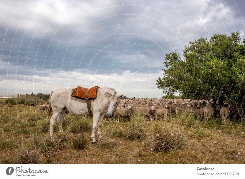 Die Stute bewacht die versammelte Schafherde auf der Weide Fauna Natur Nutztiere Wolle Lämmer Pferd Hund Person Gaucho Pflanze Flora Baum Gras Grasland