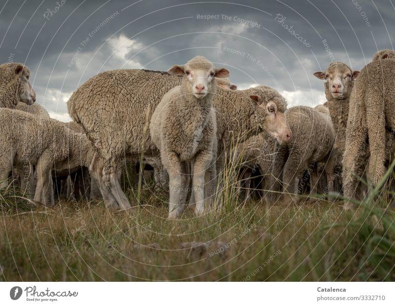 Ein neugieriges Lamm Fauna Natur Nutztier Schaf Schafherde Pflanze Gras Weide Tierhaltung Landwirtschaft Tiergruppe Wolle Tierportrait Himmel Wolken Grau Grün