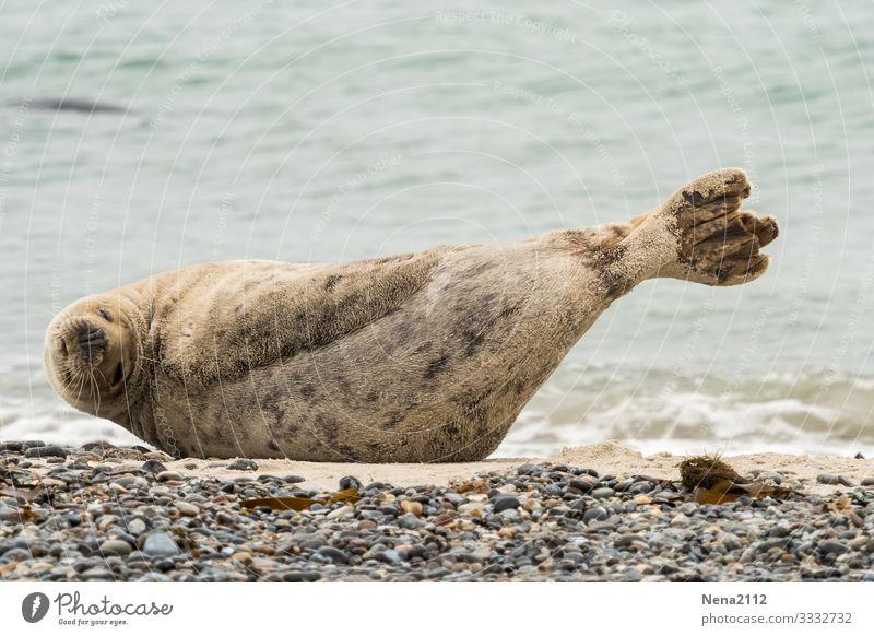 Kegelrobbendehnung Tier 1 Bewegung Fitness krabbeln liegen Sport dick frech kalt nackt sportlich stark feminin Helgoland Insel Nordsee Nordseeinsel Strand