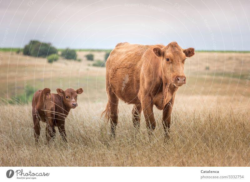 Kuh und Kalb auf der weiten Steppe schauen in die Kamera Braun grün Umwelt Himmel Landschaft Hügel Bäume Horizont Pflanze Weide Gras Felder Zusammensein