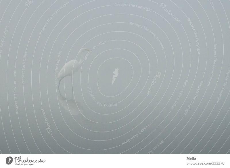 Last Umwelt Natur Landschaft Tier Wasser Nebel Teich See Vogel Reiher Silberreiher 1 gehen stehen einfach frei natürlich trist grau Freiheit schreiten unklar