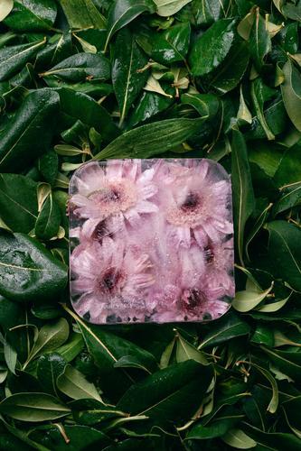 Gefrorene Chrysanthemenblüten auf grünen Blättern kalt Entwurf gefroren Würfel Eis Margerite Blume Blütenblatt Botanik hell schön Sommer Pflanze Blatt