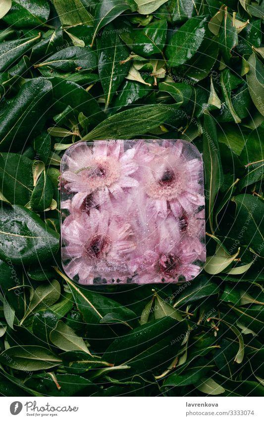 Natur Sommer Pflanze schön grün Blume Blatt Hintergrundbild kalt Garten hell Eis gefroren Botanik Blütenblatt Entwurf