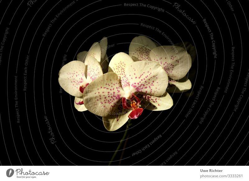 Orchidee vor schwarzem Hintergrund Pflanze Blume Ewigkeit Identität Leben Mittelpunkt Natur Farbfoto Innenaufnahme Nahaufnahme Textfreiraum links