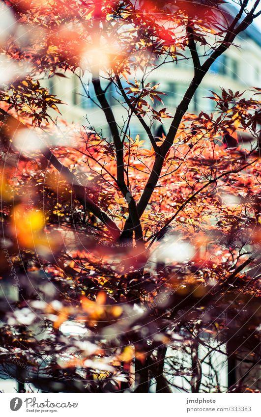 Roter Ahorn Umwelt Natur Pflanze Sonnenlicht Sommer Schönes Wetter Baum Blatt Ahornblatt Ahornzweig Ast Astgabel rot rotglühend Sonnenstrahlen Garten Park