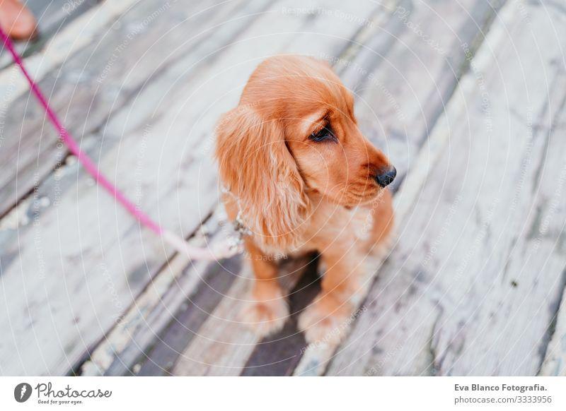 Porträt eines süßen Welpen Cockerspaniel-Hundes im Freien Frau Haustier Park Sonnenstrahlen Außenaufnahme Liebe Umarmen Lächeln Rückansicht Küssen züchten