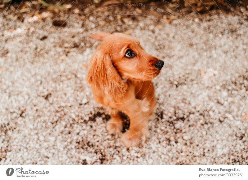 Porträt eines süßen Welpen Cockerspaniel-Hundes im Freien Frau Haustier Park Sonnenstrahlen Außenaufnahme Liebe Umarmen Lächeln Küssen züchten Reinrassig