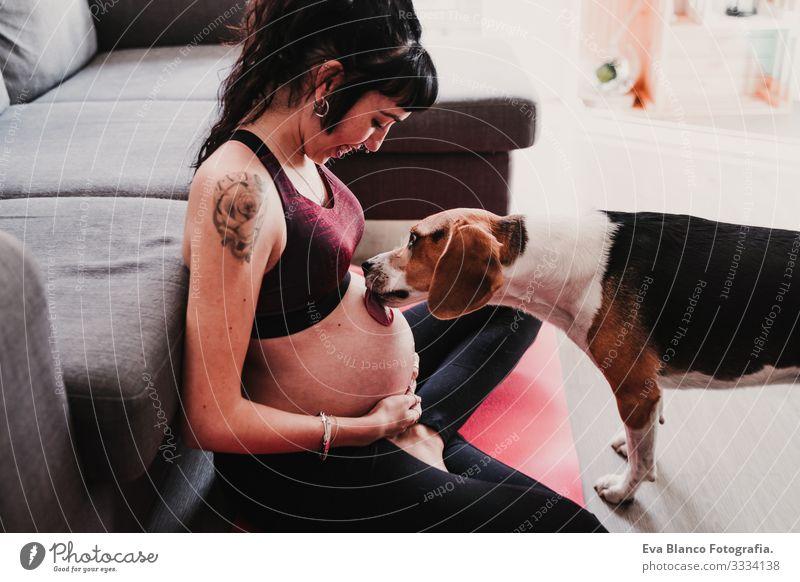 junge schwangere Frau, die zu Hause Yoga-Sport betreibt. süßer Beagle-Hund neben dem Lecken des Bauches heimwärts Gesundheit Lifestyle Jugendliche