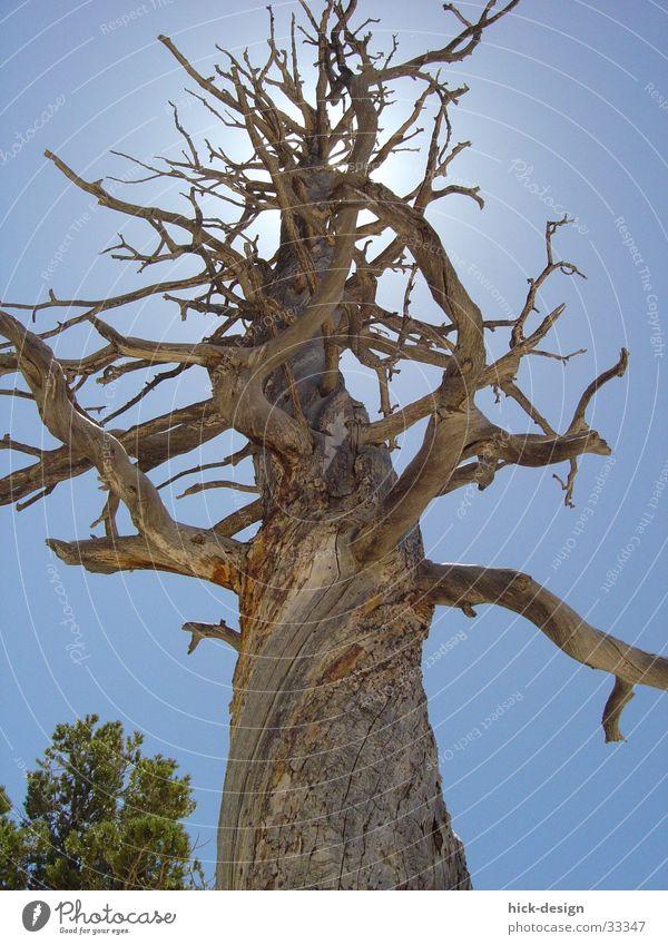 Baumleuchten Blauer Himmel Sonne Bryce Canyon Tod dead tree sun america