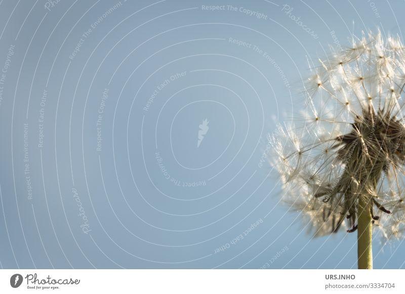 Pusteblume vor blauem Himmel mit viel Textfreiraum Natur Pflanze Sommer Blüte Wildpflanze Löwenzahn Blühend verblüht authentisch einfach grün weiß Leichtigkeit