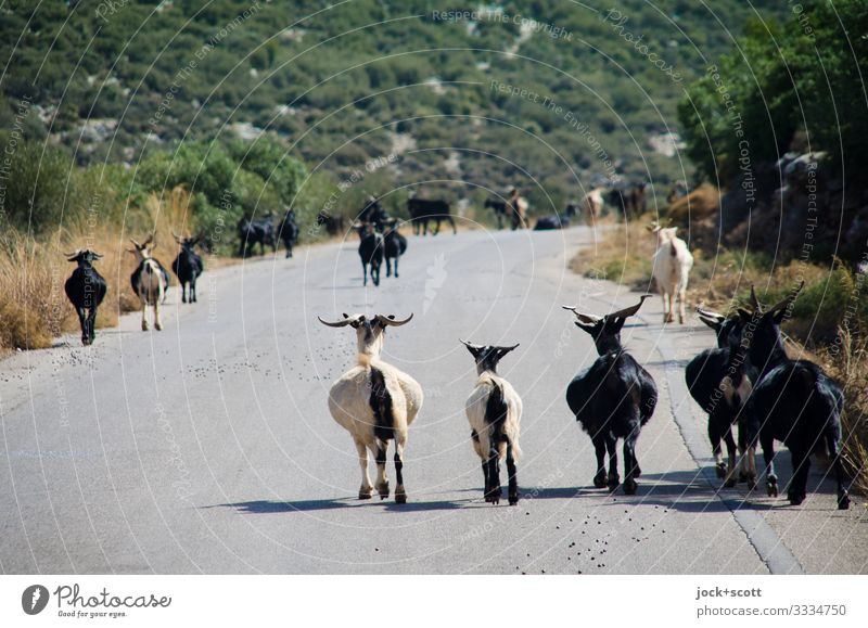 Herde von Ziegen Landwirtschaft Tier Sträucher Berge u. Gebirge Griechenland Verkehrswege Straße Nutztier authentisch viele Stimmung Idylle Wege & Pfade