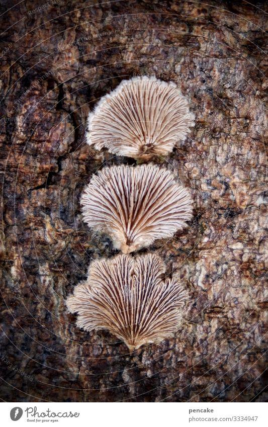 spaltblättlinge Natur Pflanze Baum Wald entdecken ästhetisch außergewöhnlich klein bizarr skurril Pilz Baumpilz Spaltblättlinge 3 Lamelle Winter Baumrinde