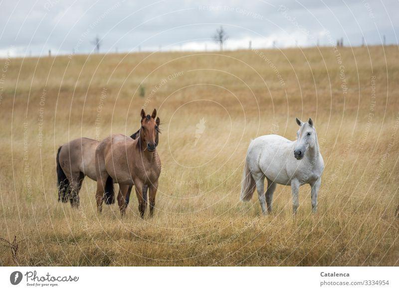 Pferde auf der Weide im hohen, trocknen Gras Natur Fauna Flora Weise Pflanze Koppel Nutztier Landwirtschaft Zaun Horizont Wolken Sommer schlechtes Wetter Himmel