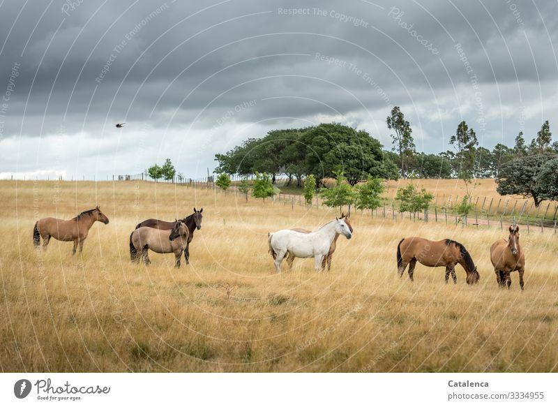 Die Pferdeherde steht im hohen Gras einer Weide, Gewitterwolken ziehen auf, ein Vogel fliegt vorbei. Nutztier Bäume Himmel Wolken schlechtes Wetter Natur