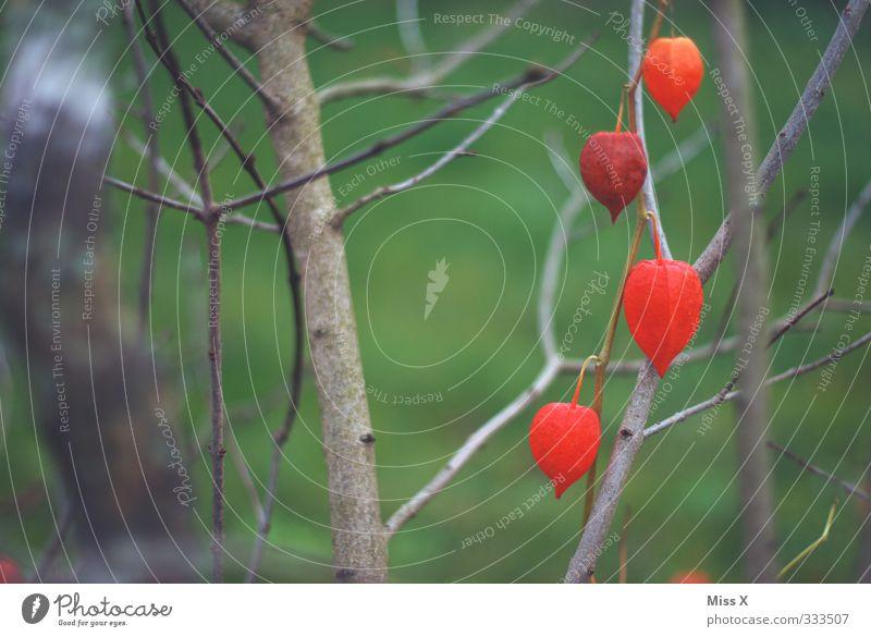 Physalis Lebensmittel Frucht Frühling Sommer Sträucher Blüte Garten Blühend rot Lampionblume Farbfoto Außenaufnahme Nahaufnahme Menschenleer Textfreiraum links