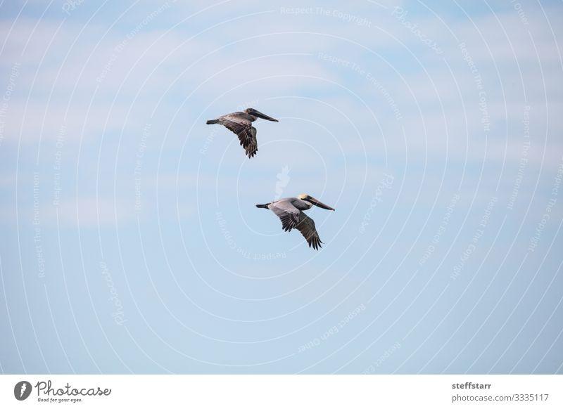 Paar braune Pelikan-Vögel Pelecanus occidentalis Strand Meer Frau Erwachsene Mann Natur Tier Wildtier Vogel 2 fliegen blau Brauner Pelikan Entenvögel