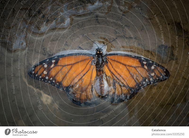 Ein Monarchfalter liegt in einer Meerwasserpfütze am Strand Tier Wildtier Insekt Schmetterling Tot gestorben Natur Sand Pfütze Wasser ertrunken orange weiss