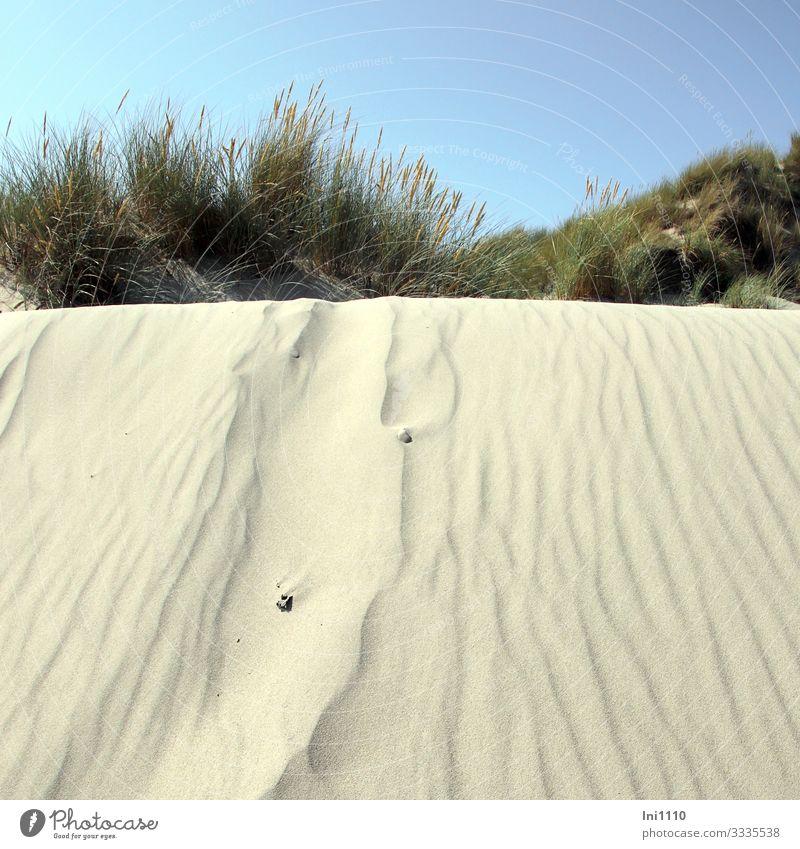 Blick von unten über Sanddüne auf blühenden Strandhafer Freizeit & Hobby Ferien & Urlaub & Reisen Sommer Sommerurlaub Sonne Himmel Wärme Pflanze Gras Küste
