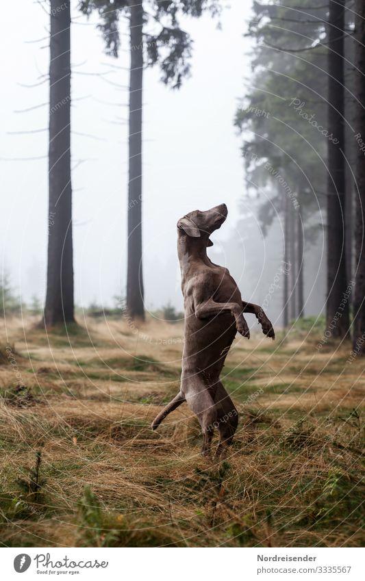 Weimaraner Jagdhund in einer skurrilen Pose im Wald Stimmung jagdhund weimaraner lichtung jung tier hundezucht wald therapiehund vorsteherhund gras idylle