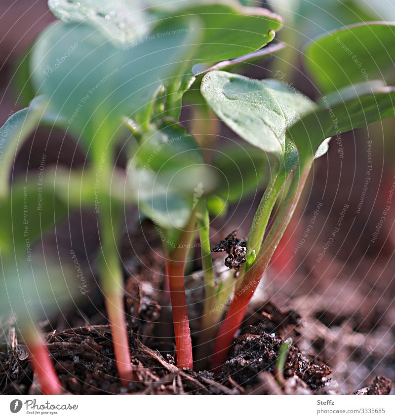 neue Radieschen Gemüse Bioprodukte Vegetarische Ernährung Vegane Ernährung Umwelt Natur Frühling Pflanze Nutzpflanze Jungpflanze Gemüsebeet Garten Gemüsegarten