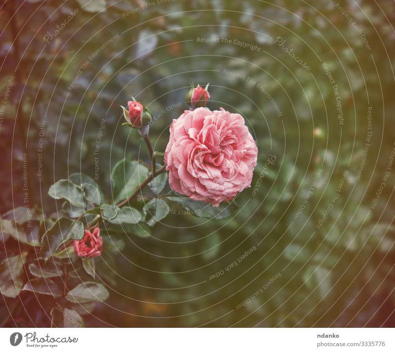 Knospen von rosa blühenden Rosen schön Sommer Garten Gartenarbeit Natur Pflanze Blume Blatt Blüte Blumenstrauß frisch natürlich grün Romantik Farbe Hintergrund