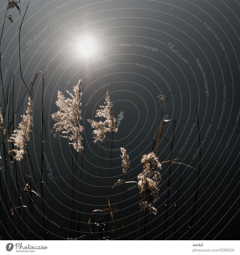 Staubwedel Umwelt Natur Landschaft Pflanze Wasser Sonne Sträucher Röhricht Büschel Seeufer leuchten ruhig Idylle Windstille Wasseroberfläche Farbfoto